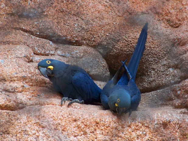 Araras azuis no Zoológico do Rio de Janeiro